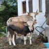 Unsere Kühe | Our cows | Le nostre mucche